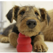 airedale-puppies-pictures-gallery
